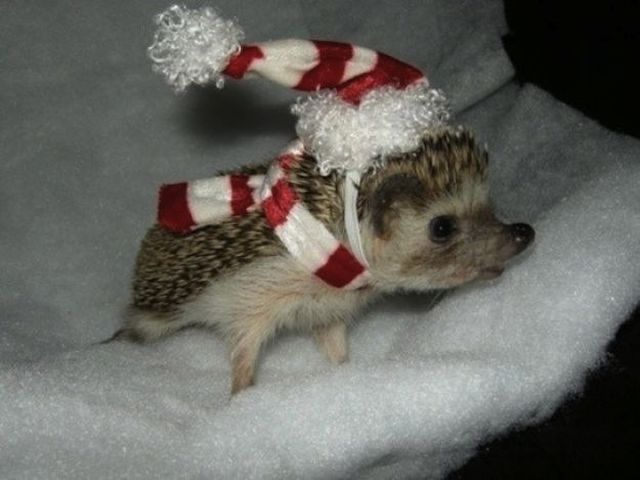 christmas hedgeog Holiday Hedgehog